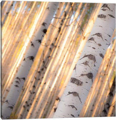 Aspen Light Canvas Art Print