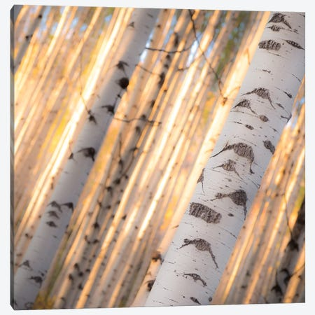 Aspen Light Canvas Print #11543} by Dan Ballard Canvas Art