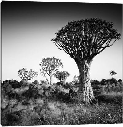 Namibia Quiver Trees Canvas Art Print