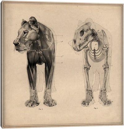 Animal (Lion) Anatomical Engraving Canvas Print #13961