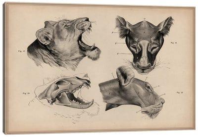 Lion Head Anatomy Canvas Print #13962