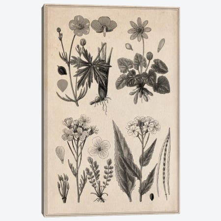 New British Herbal Sketch Canvas Print #13965} Canvas Art