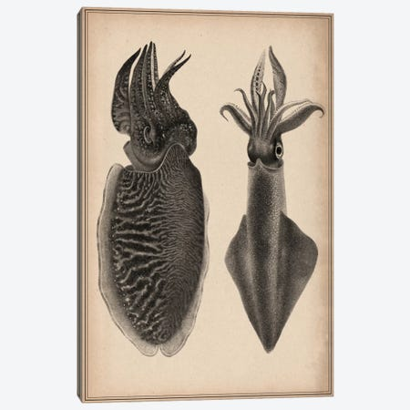 Octopus Squid Scientific Drawing Canvas Print #13967} by Unknown Artist Canvas Wall Art