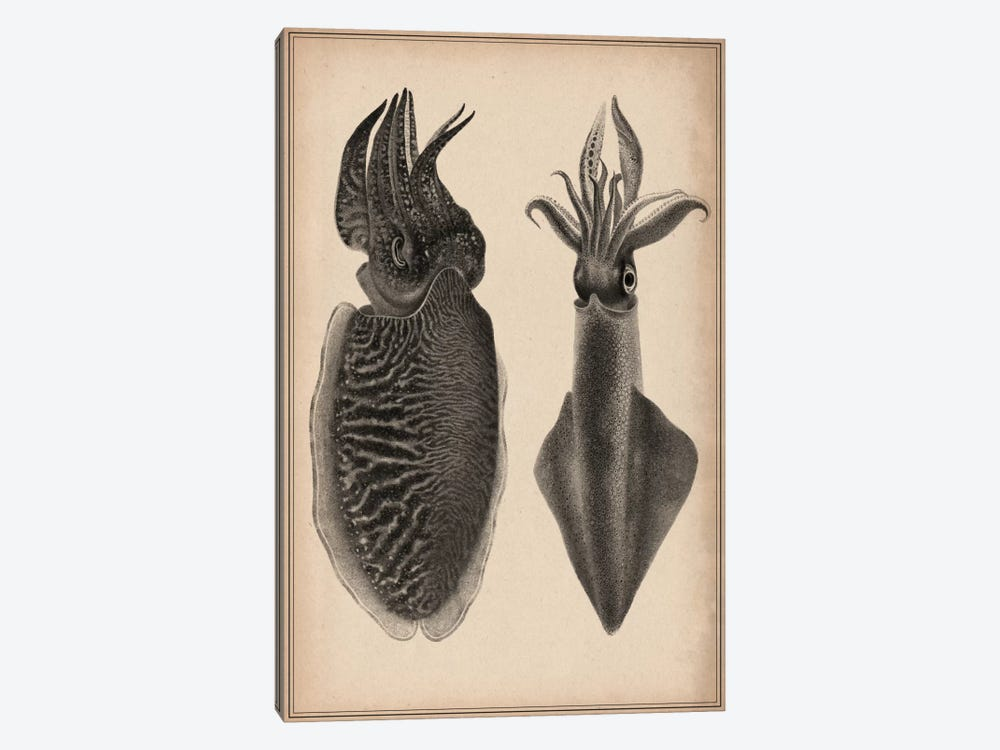 Octopus Squid Scientific Drawing by Unknown Artist 1-piece Canvas Print