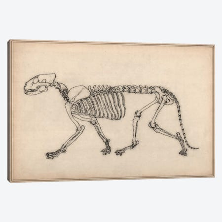 Tiger Skeleton Anatomy Drawing Canvas Print #13971} by Unknown Artist Canvas Artwork