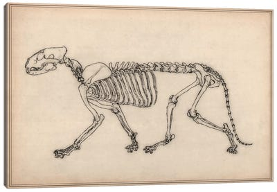 Tiger Skeleton Anatomy Drawing Canvas Art Print