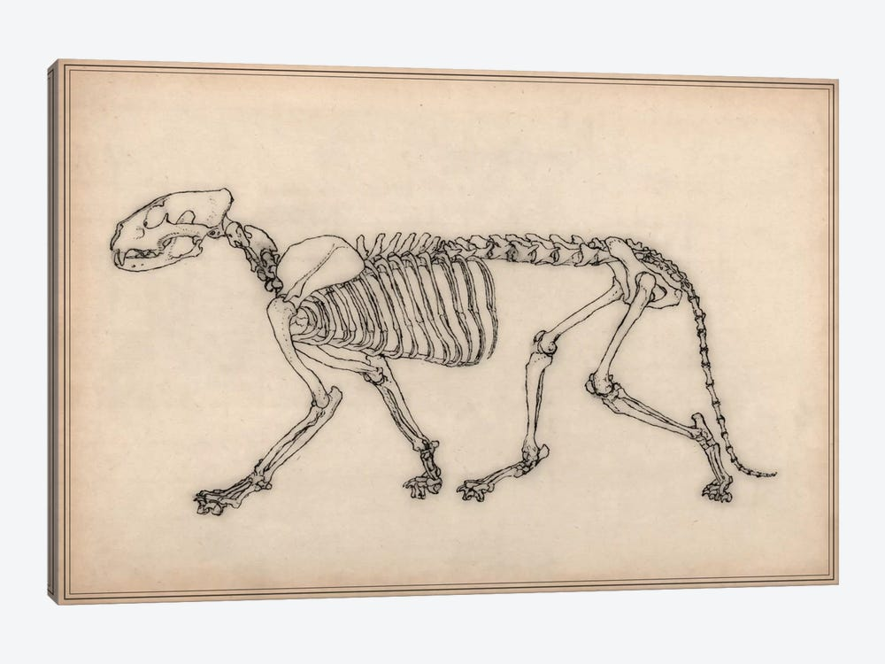 Tiger Skeleton Anatomy Drawing 1-piece Canvas Art