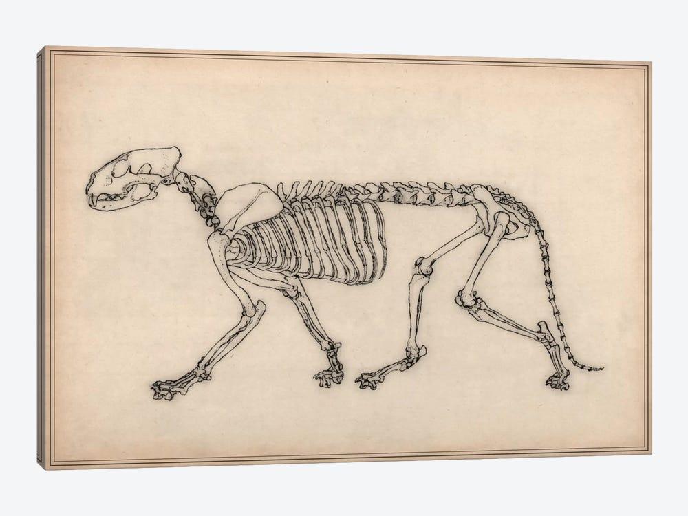 Tiger Skeleton Anatomy Drawing Art Print   iCanvas
