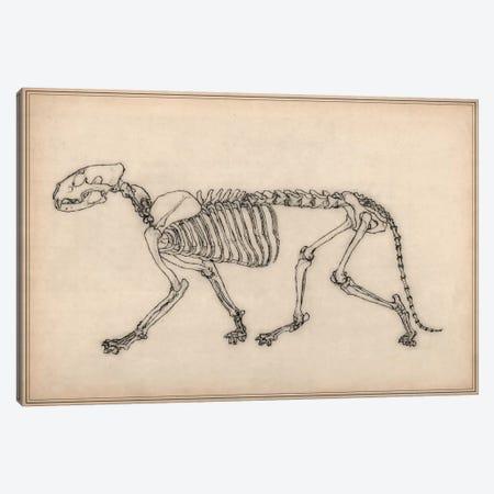Tiger Skeleton Anatomy Drawing Canvas Print #13971} by Unknown Artist Canvas Artwork