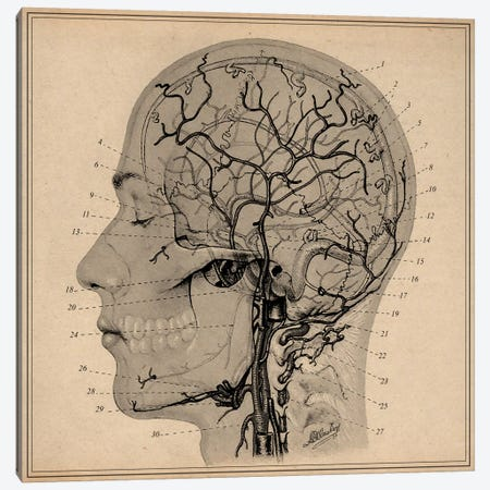 Anatomy of Human Head Canvas Print #13973} by Unknown Artist Canvas Art