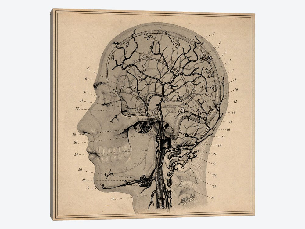 Anatomy of Human Head by Unknown Artist 1-piece Canvas Wall Art