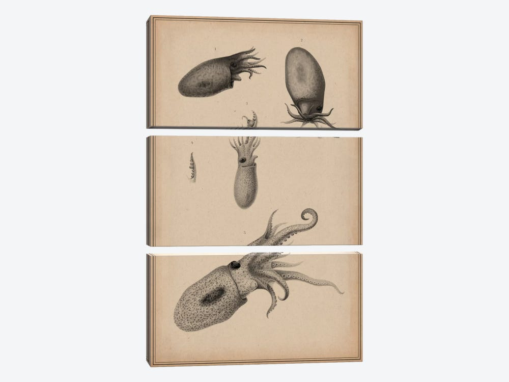 Animal Curiosity Octopus Die Cephalopoden by Unknown Artist 3-piece Canvas Art