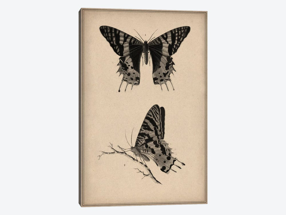 Vintage Butterfly Scientific Drawing by Unknown Artist 1-piece Canvas Print