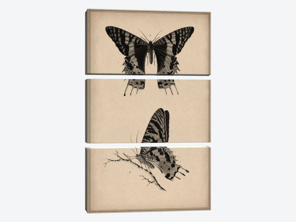 Vintage Butterfly Scientific Drawing by Unknown Artist 3-piece Canvas Print