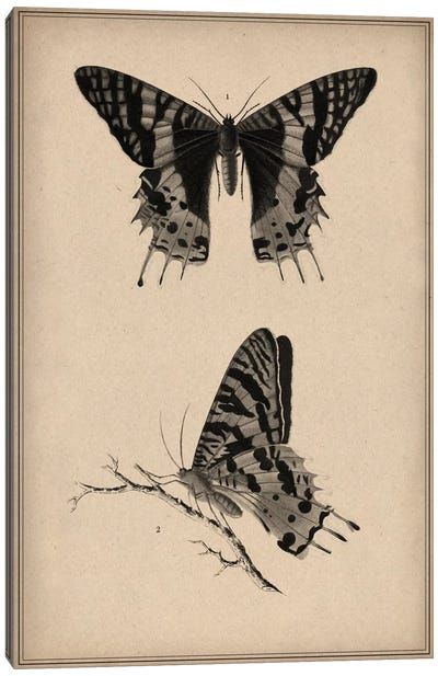 Vintage Butterfly Scientific Drawing Canvas Art Print