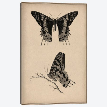 Vintage Butterfly Scientific Drawing 3-Piece Canvas #13981} by Unknown Artist Canvas Art Print