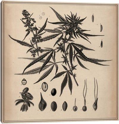 Male Cannabis Sativa Scientific Drawing Canvas Print #13982