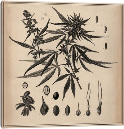 Male Cannabis Sativa Scientific Drawing Canvas Art Print