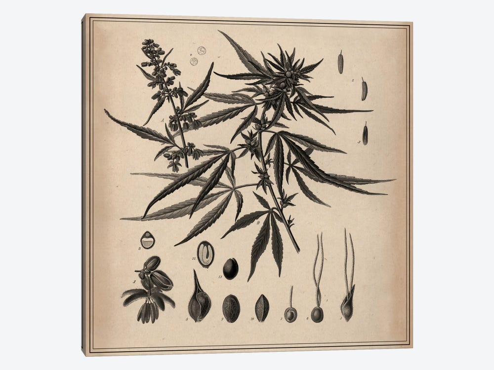 Male Cannabis Sativa Scientific Drawing 1-piece Canvas Art