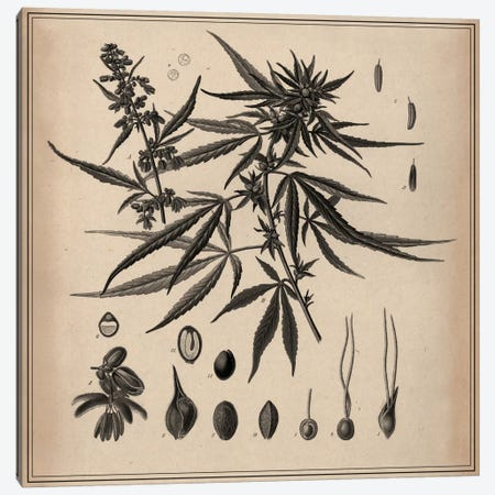 Male Cannabis Sativa Scientific Drawing Canvas Print #13982} by Unknown Artist Canvas Print