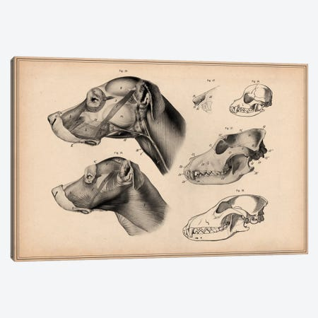 Dog Anatomy Head Canvas Print #13989} by Pela & Silverman Canvas Print