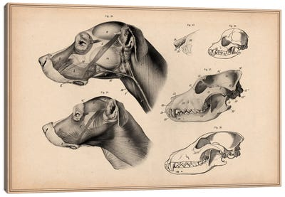 Dog Anatomy Head Canvas Art Print