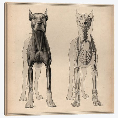 Dog Anatomy Skeleton Front View Canvas Print #13990} by Pela & Silverman Canvas Art