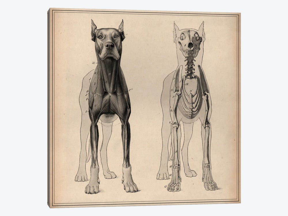 Dog Anatomy Skeleton Front View by Pela & Silverman 1-piece Art Print