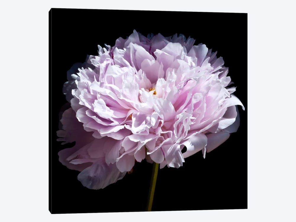 Pink Peony by Symposium Design 1-piece Canvas Art Print