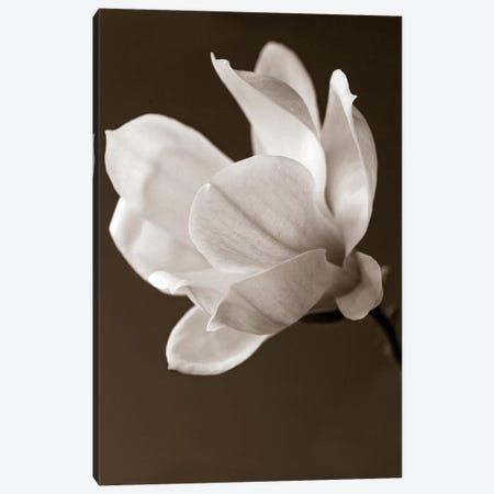 Sepia Magnolia Canvas Print #14172} by Symposium Design Art Print