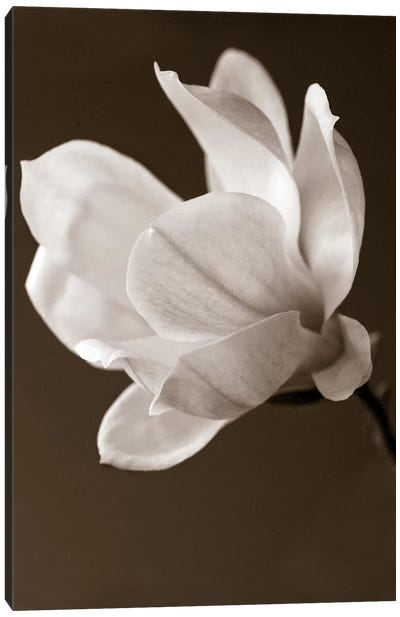 Sepia Magnolia Canvas Art Print