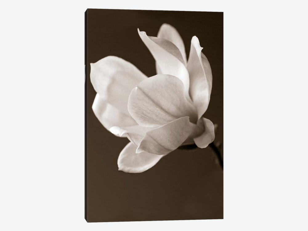 Sepia Magnolia by Symposium Design 1-piece Canvas Art