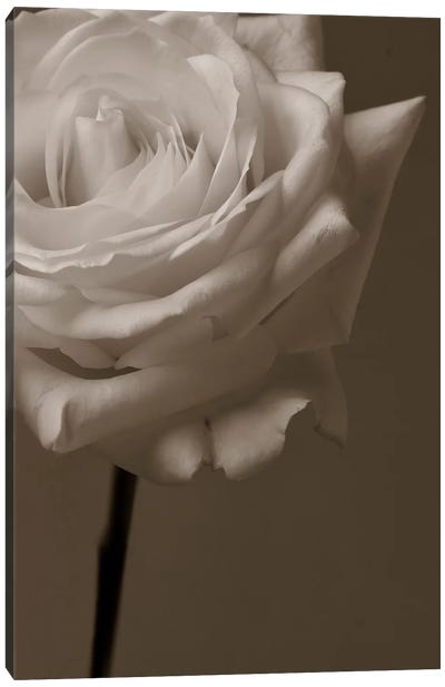 Sepia Rose Canvas Art Print