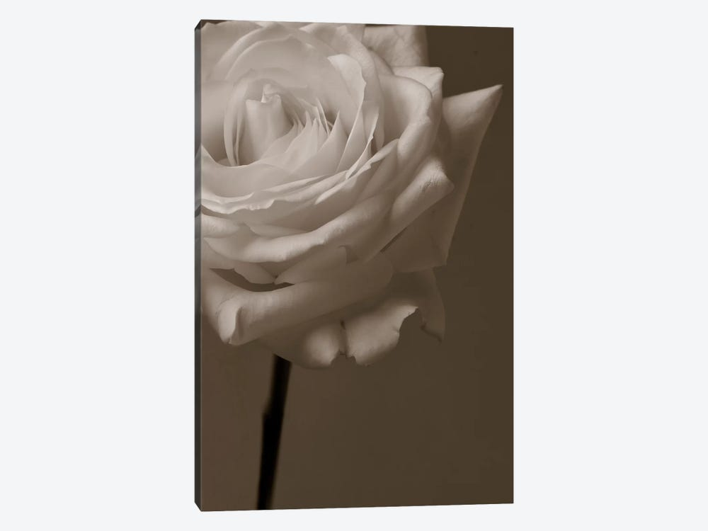 Sepia Rose by Symposium Design 1-piece Canvas Art Print