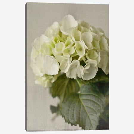 Hydrangea I Canvas Print #14187} by Symposium Design Art Print