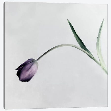 Tulip I Canvas Print #14189} by Symposium Design Canvas Artwork