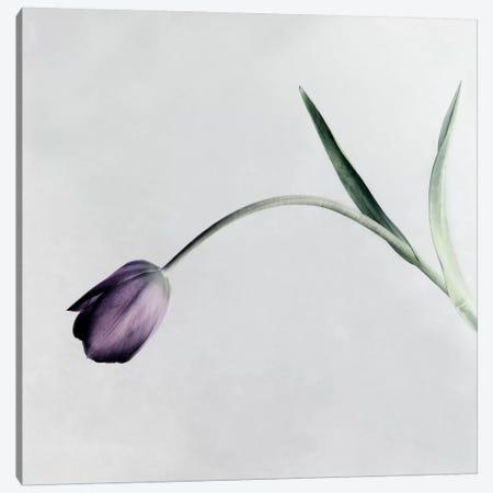 Tulip I Canvas Print #14189} by Symposium Design Canvas Artwork