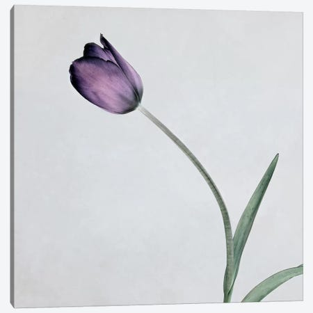 Tulip II Canvas Print #14190} by Symposium Design Canvas Print