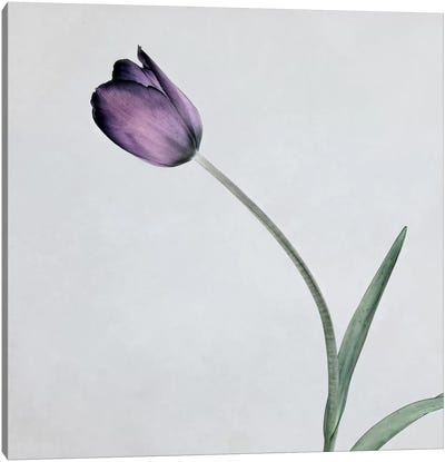 Tulip II Canvas Art Print