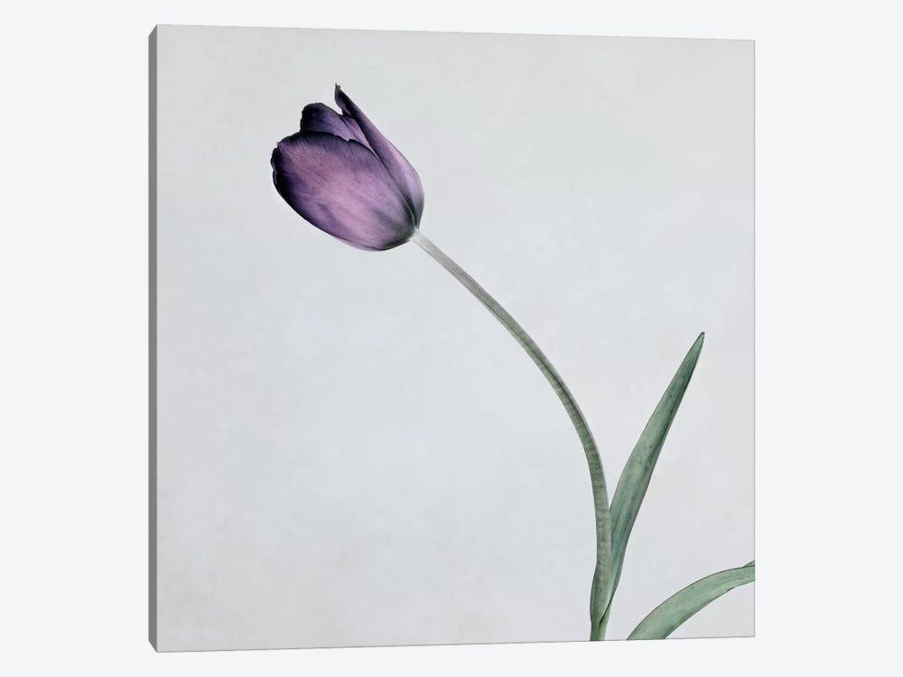 Tulip II by Symposium Design 1-piece Canvas Art