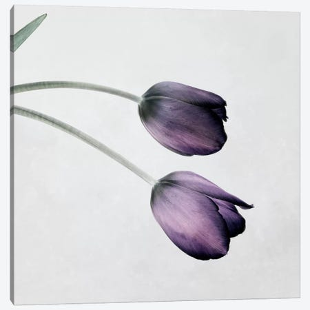 Tulip III Canvas Print #14191} by Symposium Design Canvas Print