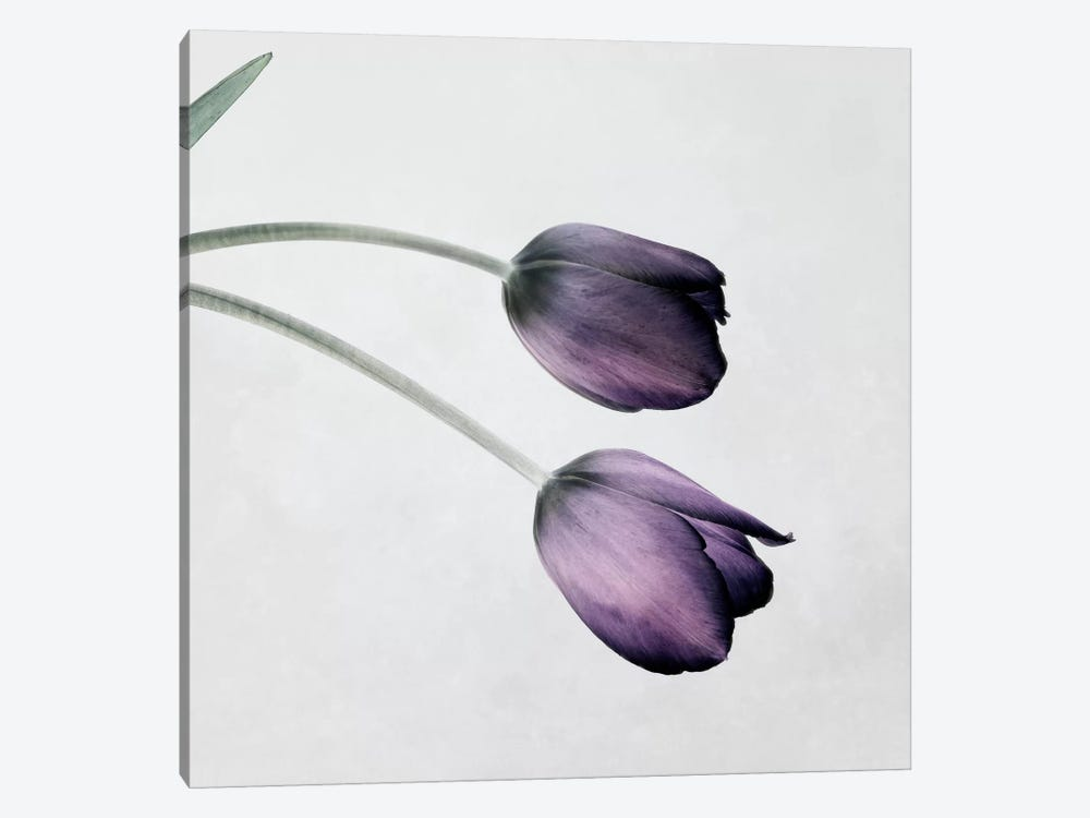 Tulip III by Symposium Design 1-piece Canvas Art Print