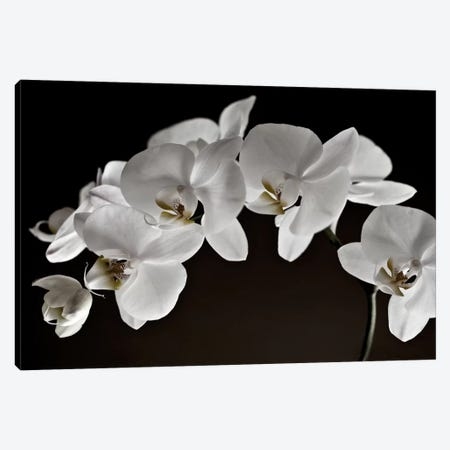 Orchids Canvas Print #14194} by Symposium Design Canvas Artwork