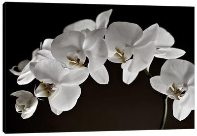 Orchids Canvas Art Print