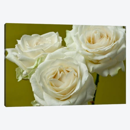 Cream Roses Canvas Print #14198} by Symposium Design Art Print