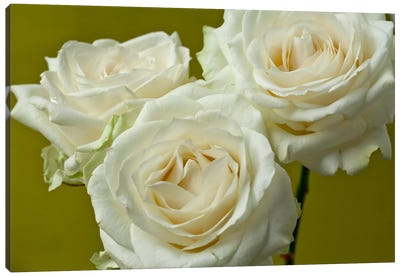 Cream Roses Canvas Art Print