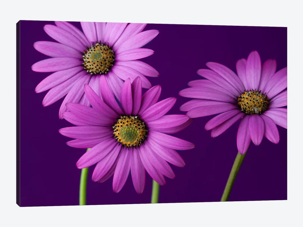 Plum Daises II by Symposium Design 1-piece Canvas Art