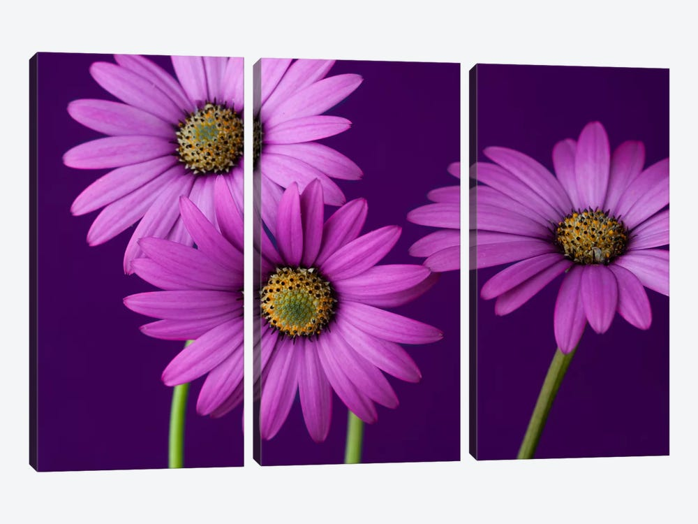 Plum Daises II by Symposium Design 3-piece Canvas Wall Art