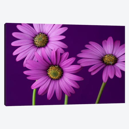Plum Daises II 3-Piece Canvas #14201} by Symposium Design Art Print
