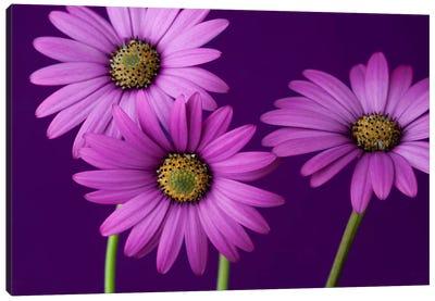 Plum Daises II Canvas Art Print